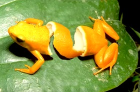Create Orange Frog Peel with Adobe Photoshop