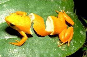 Create Orange Frog Peel with Adobe Photoshop